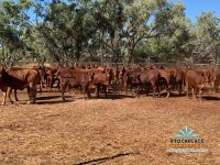 49 PTIC Droughtmaster Heifers Auctions Plus 14/5/21
