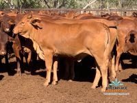 112 Droughtmaster Heifers Auctions Plus 14/5/21